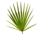 Palmito Dwarf Fan Palm Spain