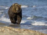 Brown Bear Beside Water  Kronotsky Nature Reserve  Kamchatka  Far East Russia