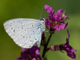 Holly Blue Butterfly Wings Closed  Feeding on Purple Loosestrife  West Sussex  England  UK