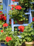 Rustic Garden Geranium Feature  Geranium Plants in Full Bloom on Blue Painted Wooden Stepladder  UK