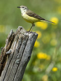 Yellow Wagtail Female Perched on Old Fence Post  Upper Teesdale  Co Durham  England  UK