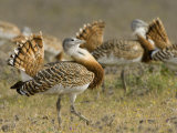 Geat Bustard Flock  Extremadura  South Spain