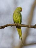 Rose Ringed Ring-Necked Parakeet Perched  Ranthambhore Np  Rajasthan  India