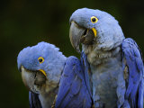 Hyacinth Macaw Pair  from South America  Endangered
