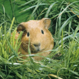 Golden Guinea Pig in Long Grass  UK