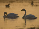 Whooper Swan and Mute Swan  Hornborgasjon Lake  Sweden