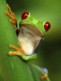 Red Eyed Tree Frog Portrait, Costa Rica Papier Photo par Edwin Giesbers