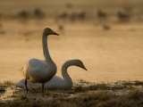 Two Whooper Swans  Hornborgasjon Lake  Sweden