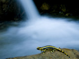 European Salamander on Rock in Stream  Pyrenees  Navarra Region  Spain