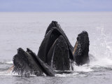 Humpback Whales Lunge-Feeding for Herring  Frederick Sound  South East Alaska  USA