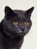 Certosina - Chartreux Cat  Portrait