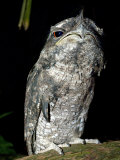 Tawny Frogmouth Captive  Rainforest Habitat Wildlife Sanctuary  Port Douglas  Queensland  Australia