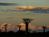 Baobab Trees in Baobabs Avenue  Near Morondava  West Madagascar