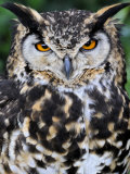 Head Portrait of Spotted Eagle-Owl Captive  France