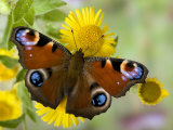 Peacock Butterfly on Fleabane Flowers  Hertfordshire  England  UK