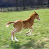Domestic Horse  Chestnut British Show Pony Colt Foal Leaping Away  UK