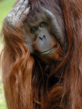 Male Orang-Utan with Head on Hand Native to Borneo Captive  France
