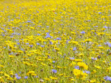 Summer Wildflower Meadow with Corn Marigold and Cornflower Uk  July