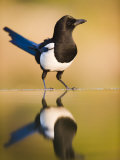 Magpie Coming to Drink at a Pool  Alicante  Spain