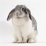 Female Silver and White French Lop-Eared Rabbit