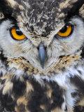 Spotted Eagle-Owl Captive  France