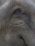 Indian Elephant Close Up of Eye  Controlled Conditions  Bandhavgarh Np  Madhya Pradesh  India
