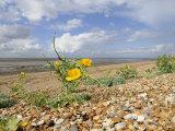 Yellow Horned Poppy Growing on Coastal Shingle Ridge  Norfolk  UK