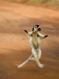 Verreaux&#39;s Sifaka &#39;Dancing&#39;  Berenty Private Reserve  South Madagascar