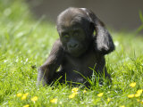 Western Lowland Gorilla Female Baby Scratching Head Captive  France