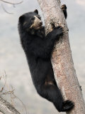 Spectacled Bear Climbing in Tree  Chaparri Ecological Reserve  Peru  South America