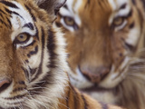 Two Siberian Tigers Portraits
