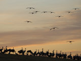 Common Cranes at Sunset  Some on Ground  with Others Landing  Hornborgasjon Lake  Sweden