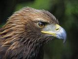 Head Portrait of Golden Eagle  France