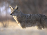 Coyote Bosque Del Apache National Wildlife Refuge  New Mexico  USA