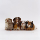 Female Crested Guinea Pig with Three Six-Week Babies  UK