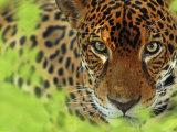Jaguar Portrait  Costa Rica