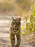 Bengal Tiger Walking on Track  Ranthambhore Np  Rajasthan  India