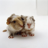 Two Baby Crested Guinea Pigs  One-Day