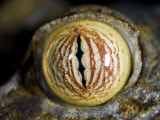 Close Up of Eye of Leaf Tailed Gecko Eye Detail  Nosy Mangabe  Northeast Madagascar
