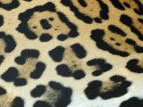 Close-Up of Jaguar Fur  Costa Rica