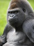 Male Silverback Western Lowland Gorilla Portrait  France