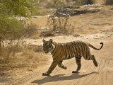 Bengal Tiger Hunting  Ranthambhore Np  Rajasthan  India