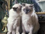 Two Birman Cats Sitting on Furniture  Interacting
