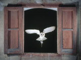 Barn Owl Flying into Building Through Window Carrying Mouse Prey  Girona  Spain