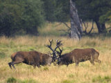 Red Deer Stags Fighting  Dyrehaven  Denmark