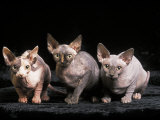 Three Hairless  Sphinx Cats