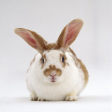 Fawn English-Spotted Rabbit  Female