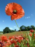 Common Poppy Individual Flower  Hertfordshire  England  UK