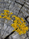 Yellow Scales Lichen Growing on Groyne  Exmoor National Park  Somerset  UK