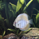 Discus Fish Captive  from Tropical Rainforest Rivers in Brazil